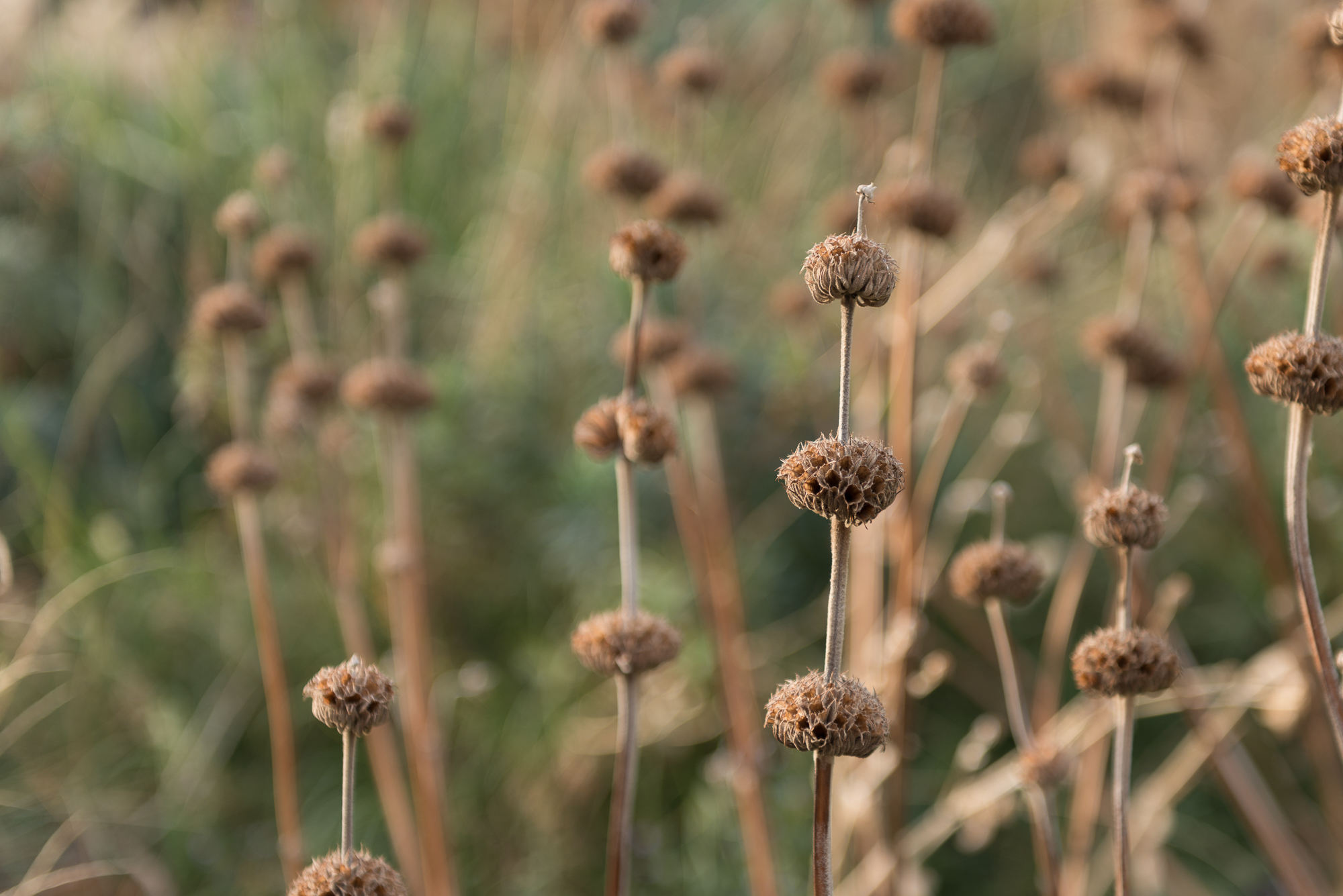 A close-up shot of some seedpods in grasses.