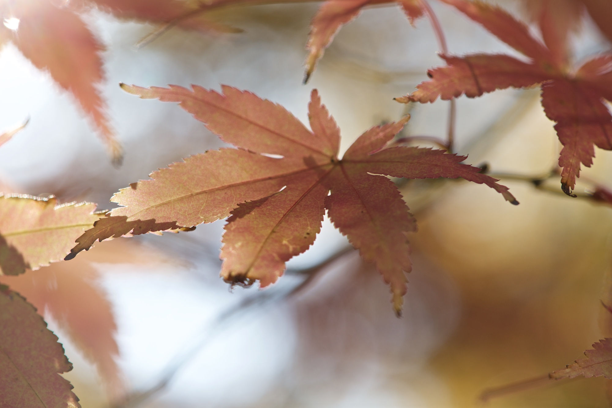 A close macro photo of a beige maple leaf