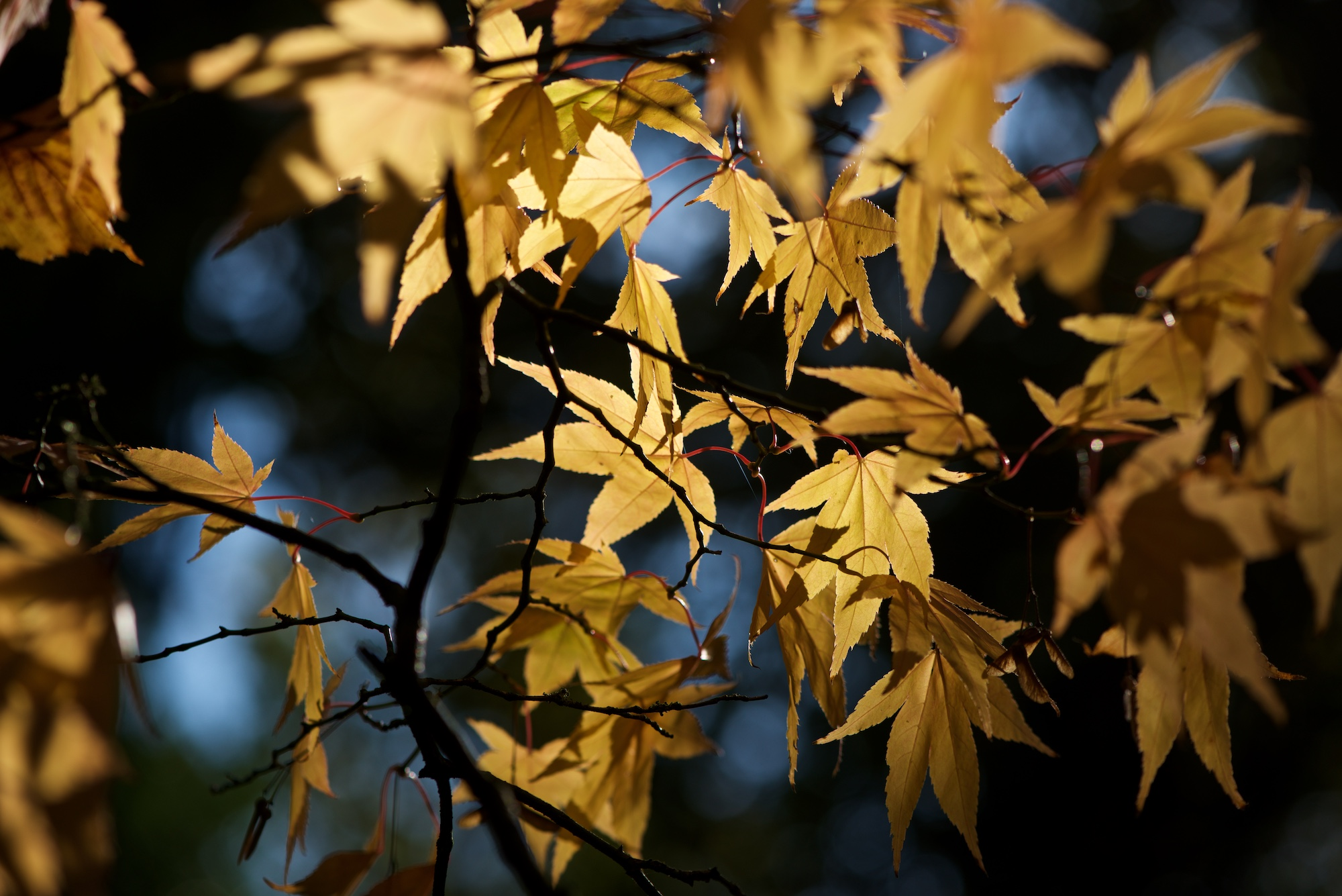 Many yellow-orange maple leaves are lit up in sunlight against a dark background.