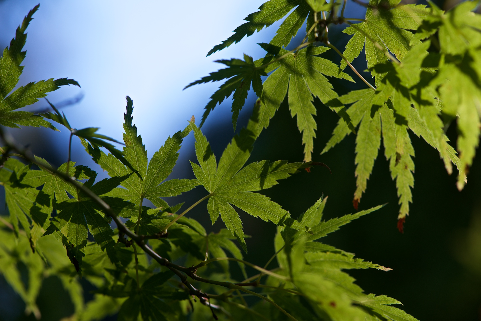 Several green maple leaves are lit up in sunlight against a dark background.