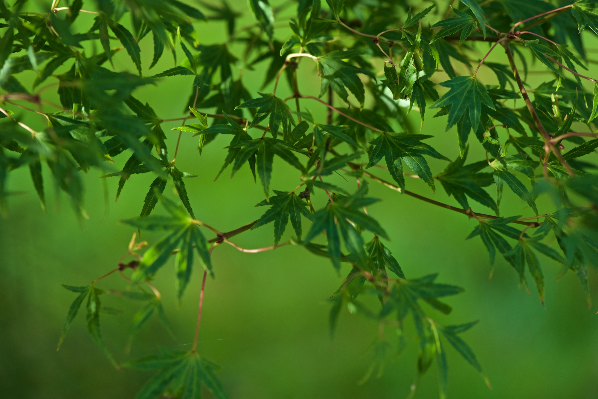 Many small green maple leaves against a green background.