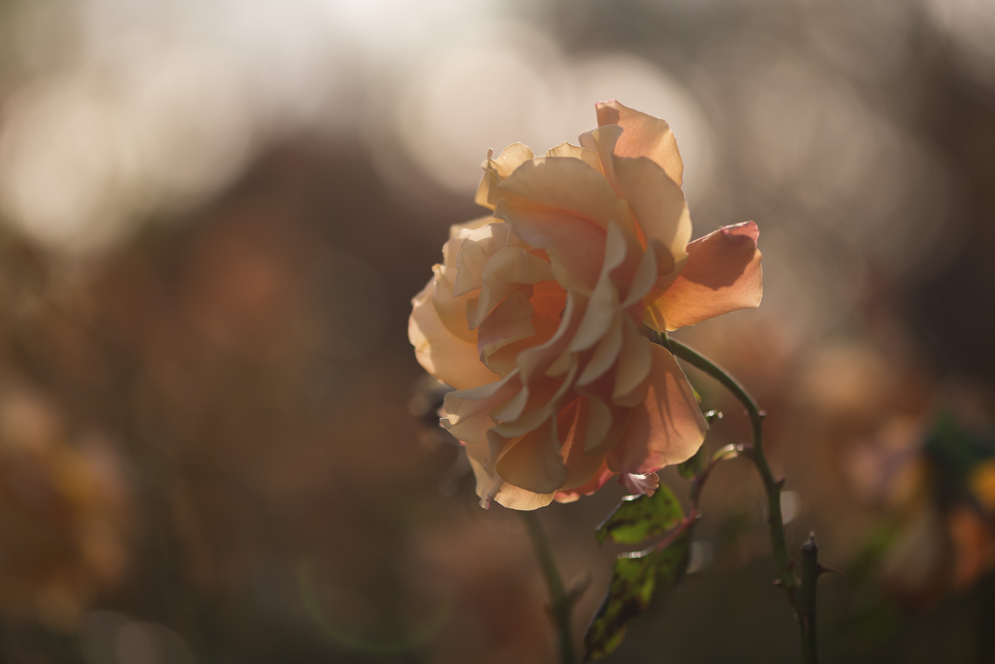 A close macro photo of a pale orange rose, with soft dappled light in the background.